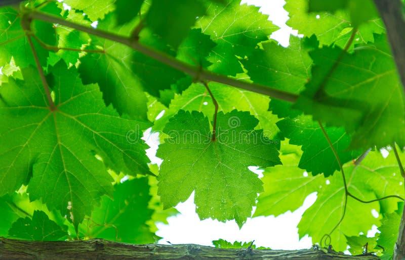 листья виноградины поля глубины отмелые стоковые изображения