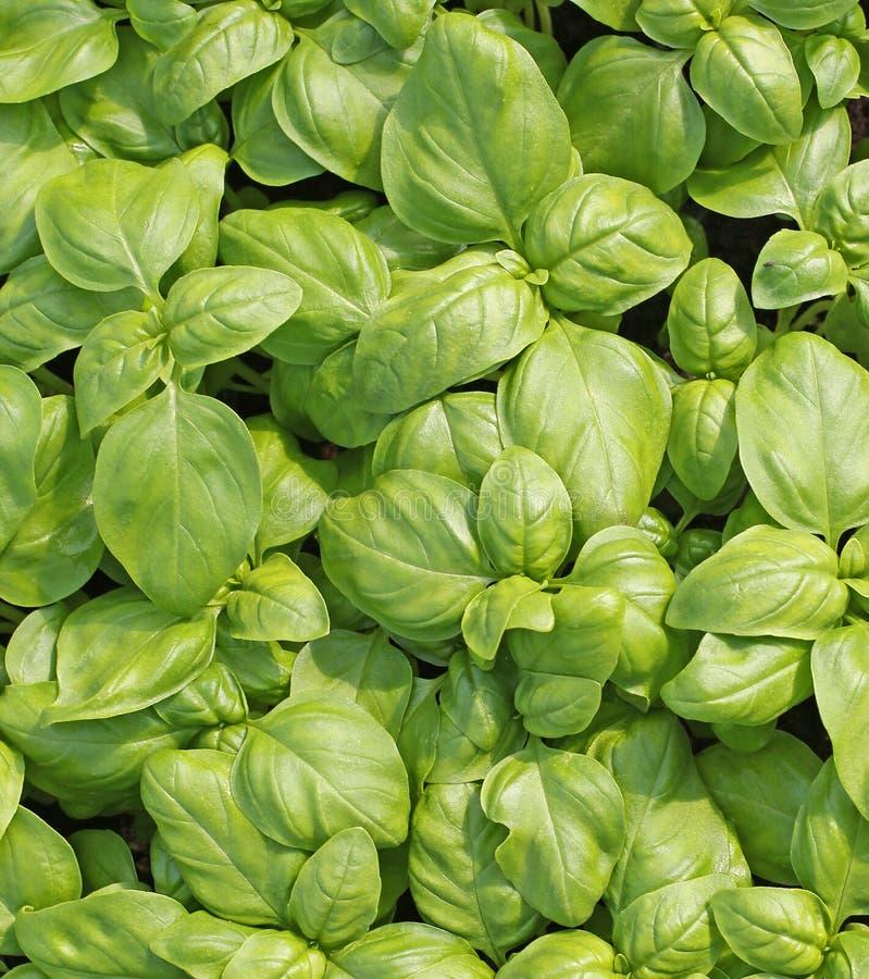 листья зеленого цвета базилика свежие стоковое фото rf