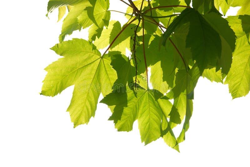 листья зеленого цвета каштана стоковая фотография rf