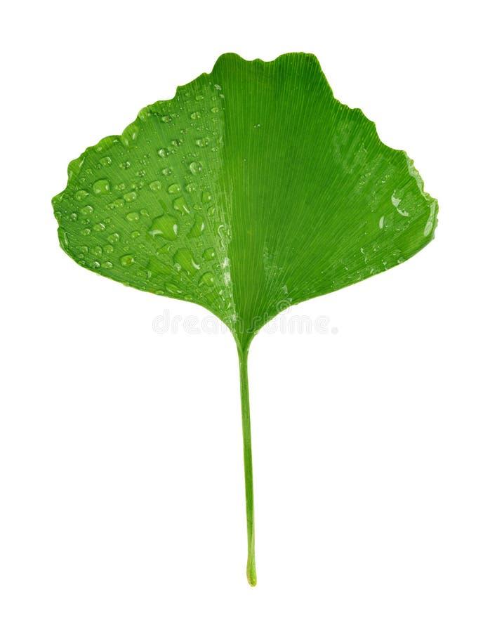 листья зеленого цвета ginkgo biloba стоковые фотографии rf