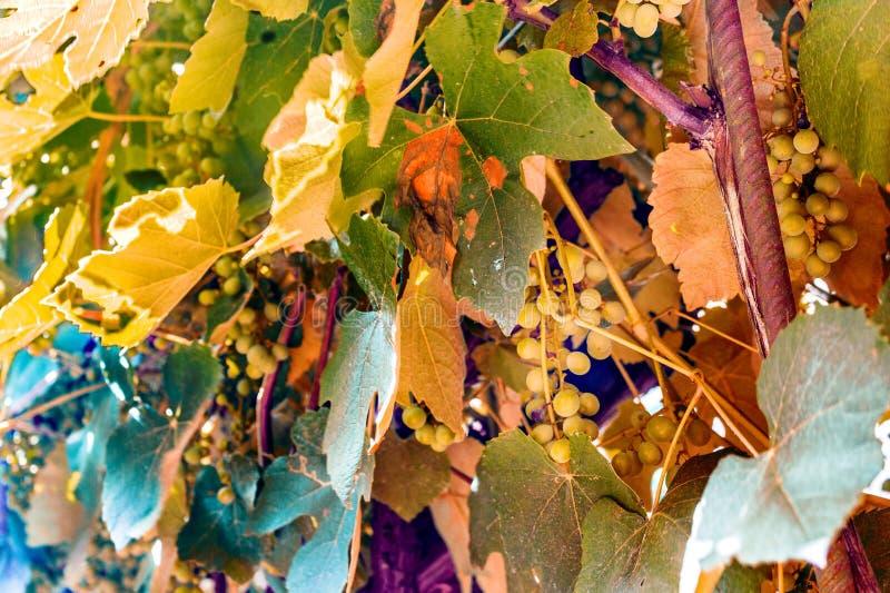 листья лозы и незрелые виноградины стоковое изображение rf