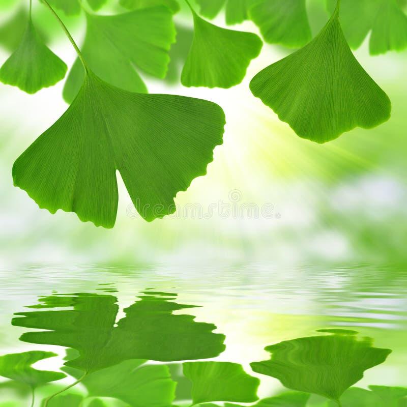 листья ginkgo фокуса biloba выходят отмелыми стоковое изображение rf