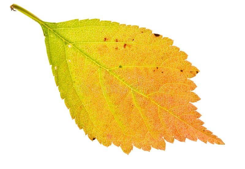 листья sakura осени стоковое фото