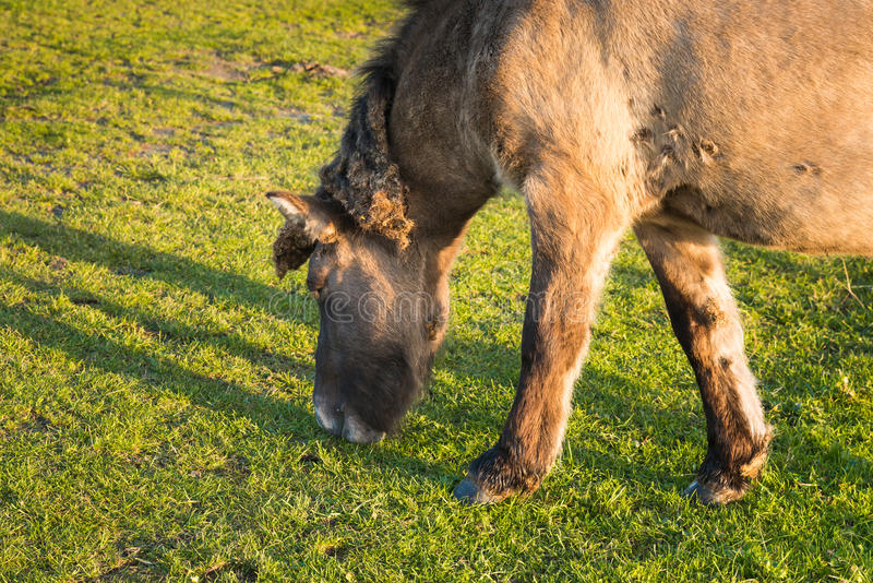 Исландская лошадь пася в солнечном свете позднего вечера стоковое фото