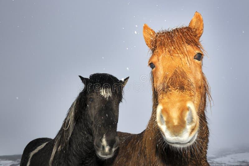 Исландская лошадь стоковое фото