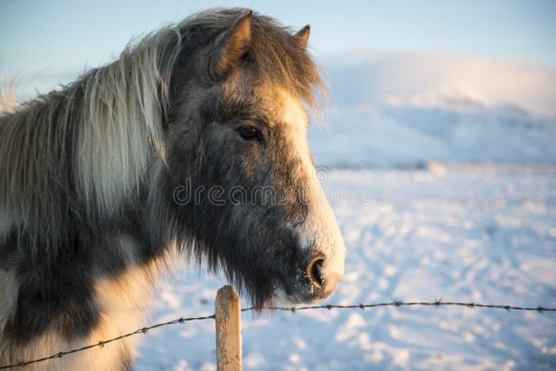 Исландская покрашенная лошадь на солнечный зимний день с снегом на предпосылке, Исландии стоковые изображения