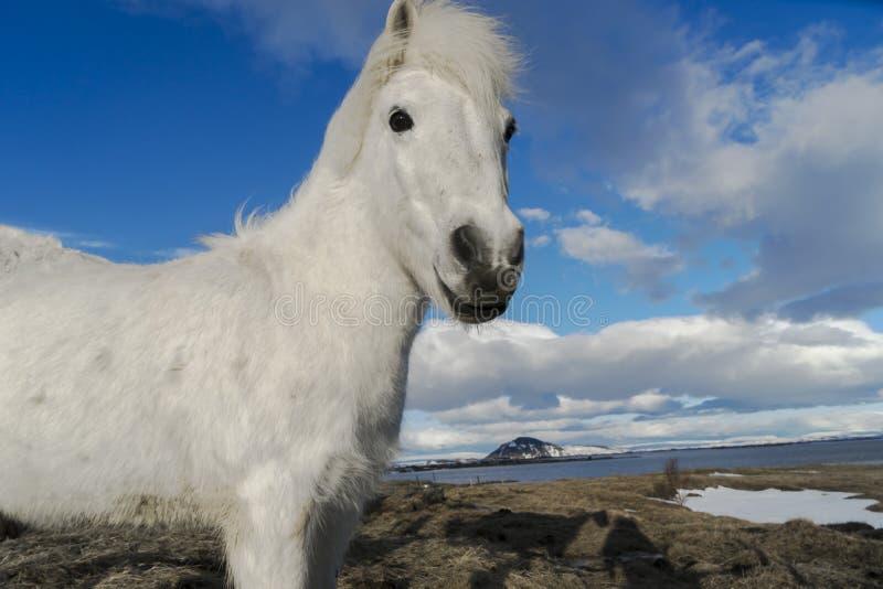 Исландские взгляды пони стоковые изображения