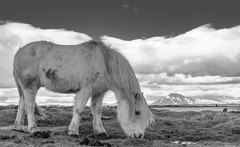 Исландские взгляды пони стоковое изображение