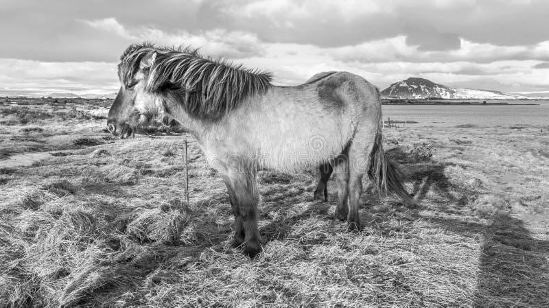 Исландские взгляды пони стоковое фото rf