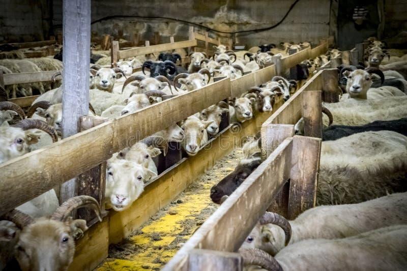 Исландские овцы фермы Gerdi взглядов стоковые изображения