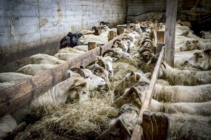 Исландские овцы фермы Gerdi взглядов стоковое фото
