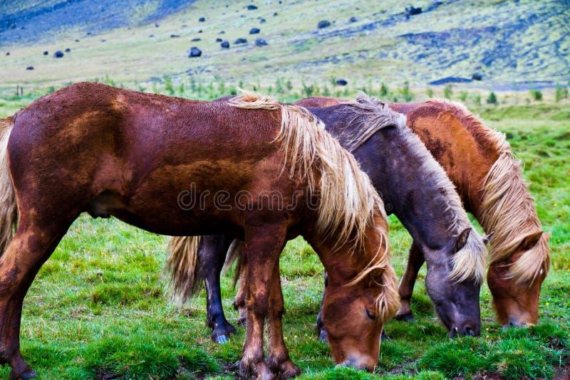 Исландские лошади стоковое изображение rf