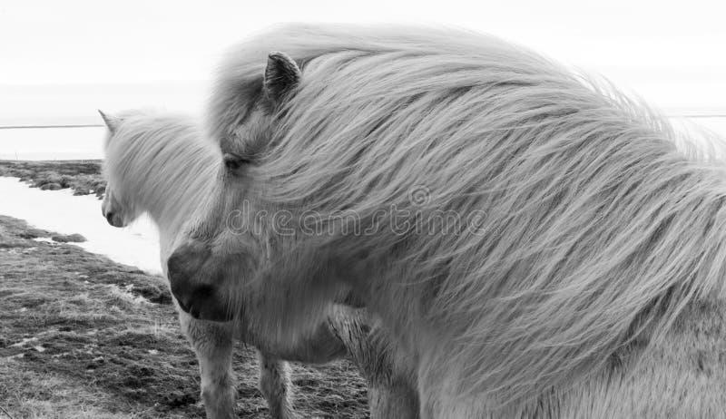 Исландские пони b & w стоковое изображение