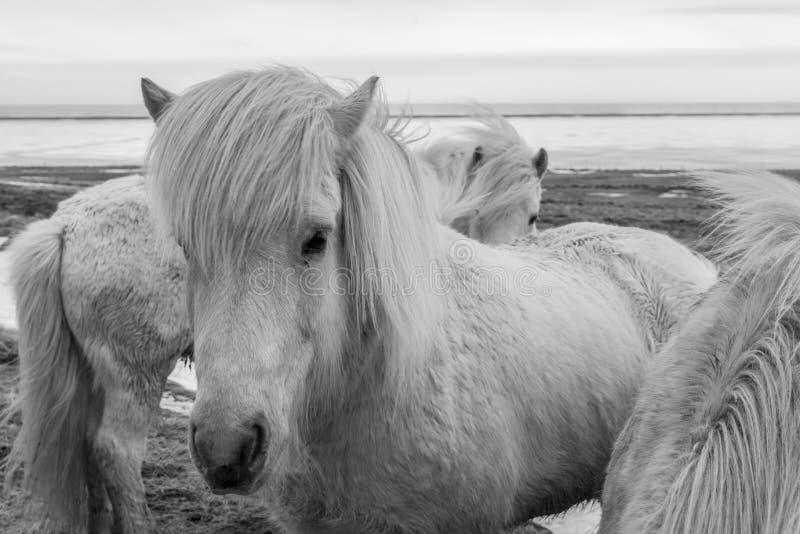 Исландские пони b & w стоковое фото rf