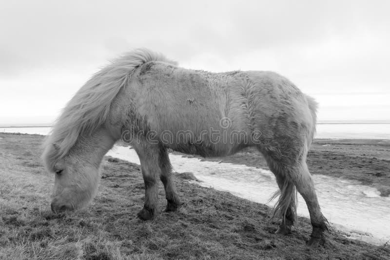 Исландские пони b & w стоковые изображения