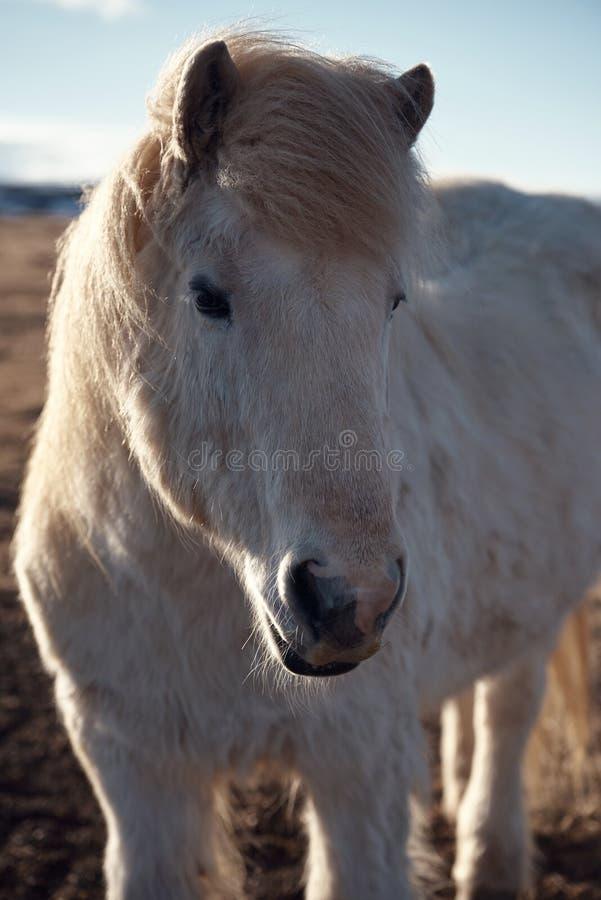 Исландское portrat лошади стоковая фотография rf