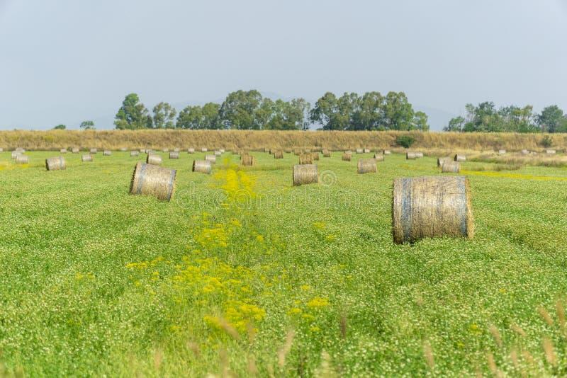 Италия Тоскана Alberese Гроссето, поле с сеном тюкует траву и желтые цветки, панорамный вид стоковые изображения