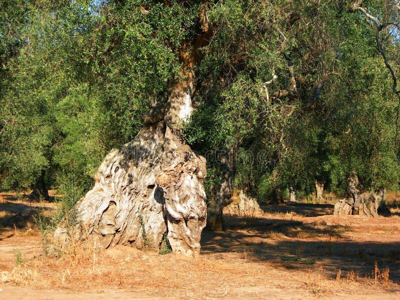 Италия, Salento: Столетнее оливковое дерево стоковые фото