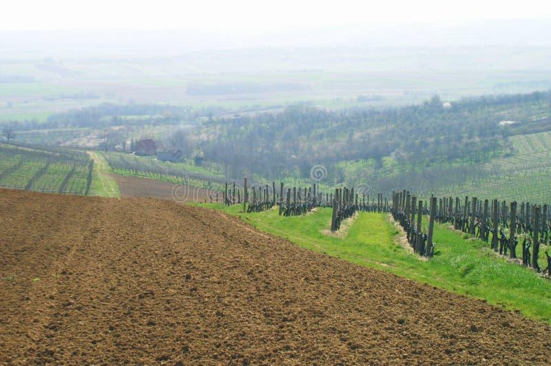 итальянский виноградник стоковая фотография rf