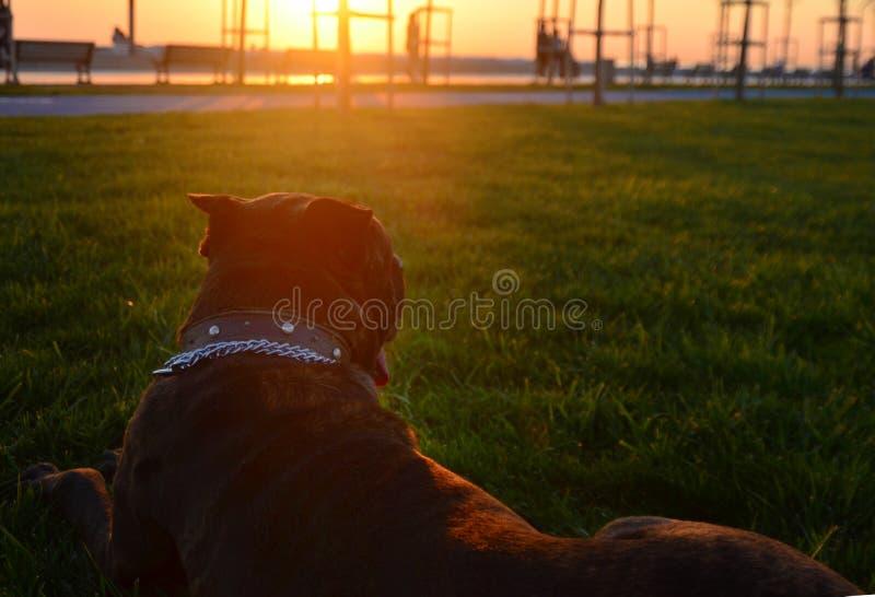 Итальянский mastiff в фураже лежит на лужайке стоковые изображения rf