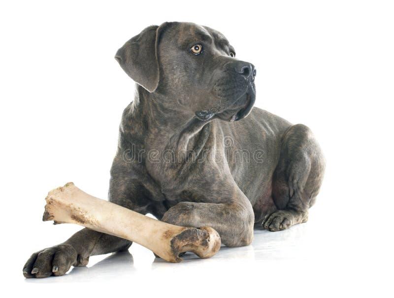 Итальянские mastiff и косточка стоковое фото