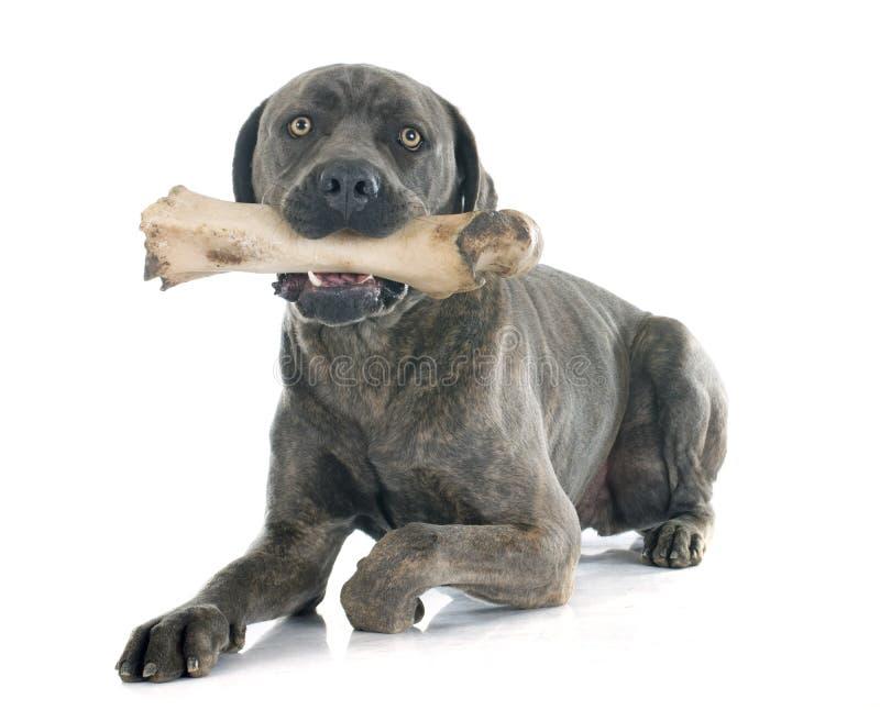 Итальянские mastiff и косточка стоковые изображения