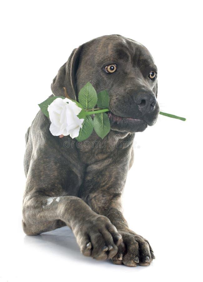 Итальянские mastiff и цветок стоковые фото