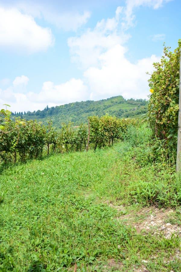 Итальянский виноградник горы стоковая фотография rf