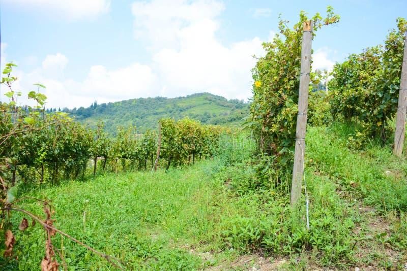 Итальянский виноградник горы стоковые изображения rf