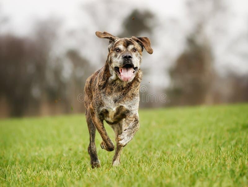 Download итальянский mastiff стоковое изображение. изображение насчитывающей бежать - 40582777