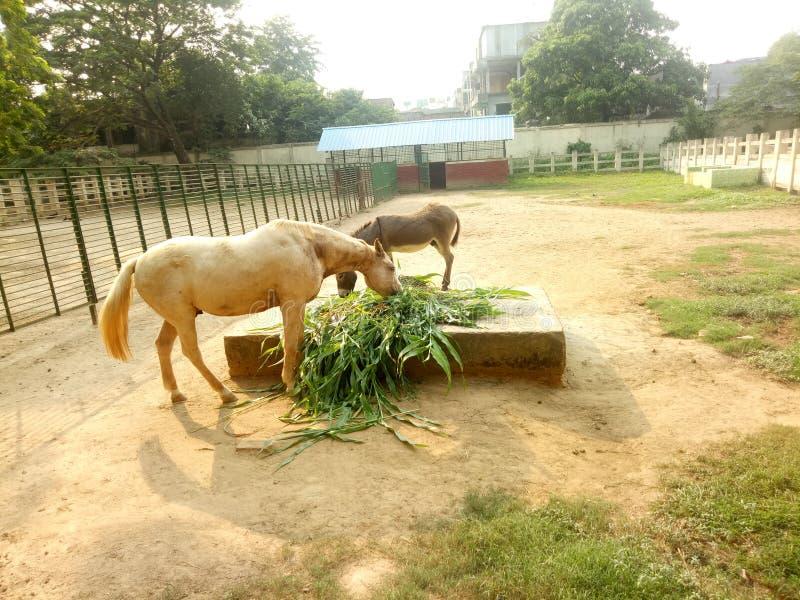 Ишак ест траву стоковые фотографии rf