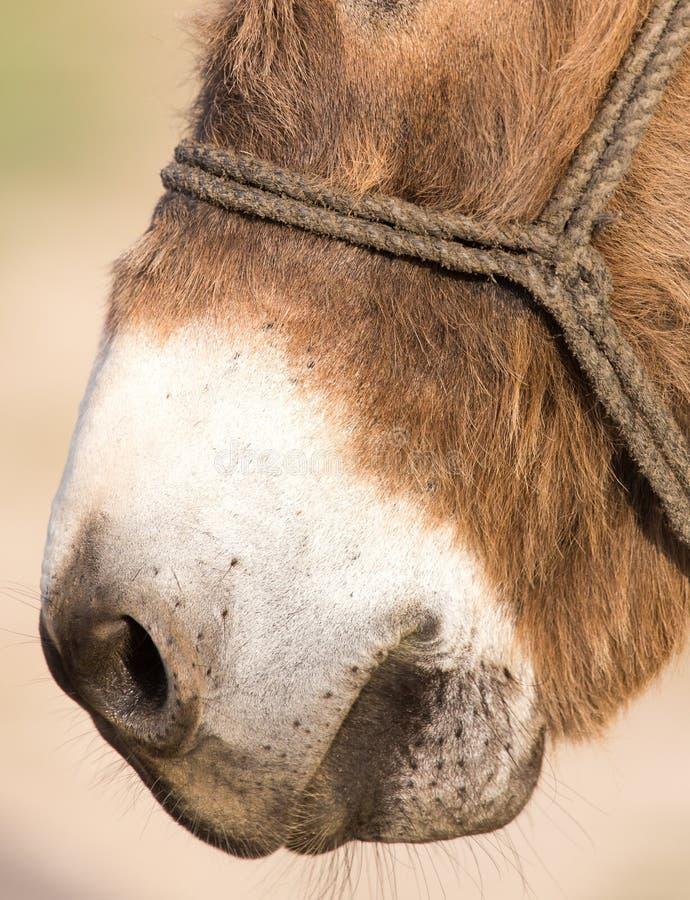 Ишак носа стоковое изображение