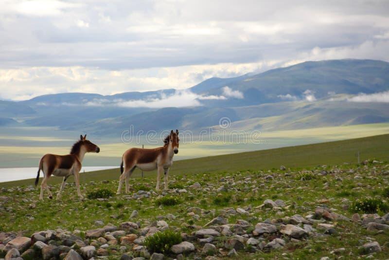 Ишак озера одичалый в Тибете стоковые фотографии rf
