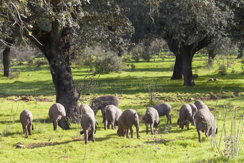 Ишак свинины в луге стоковое изображение