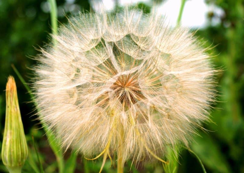 июнь Покрывают некоторые wildflowers с семенами с облегченными fuzz-парашютами стоковая фотография