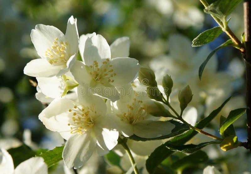 июнь Утро Цветя Chubushnik стоковые фото