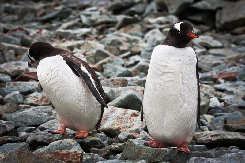 идентичные пингвины 2 стоковая фотография