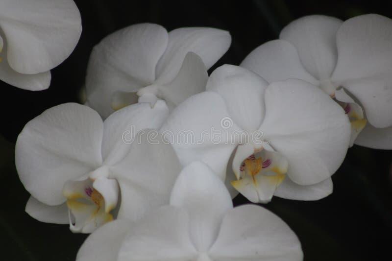 лилии белые стоковое фото rf