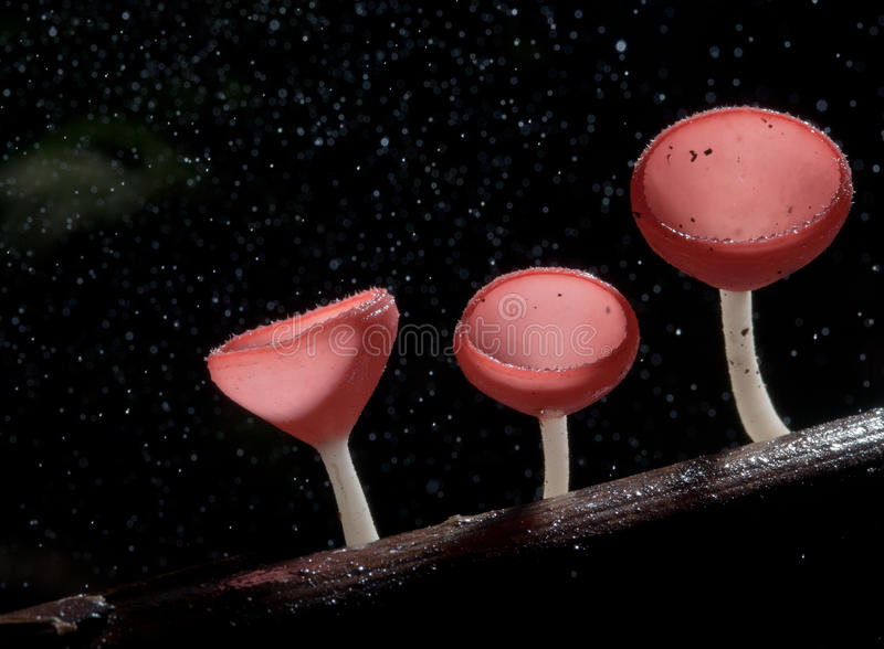 Идите дождь красивый розовый гриб шампанского выровнянный на тимберсе стоковые фото