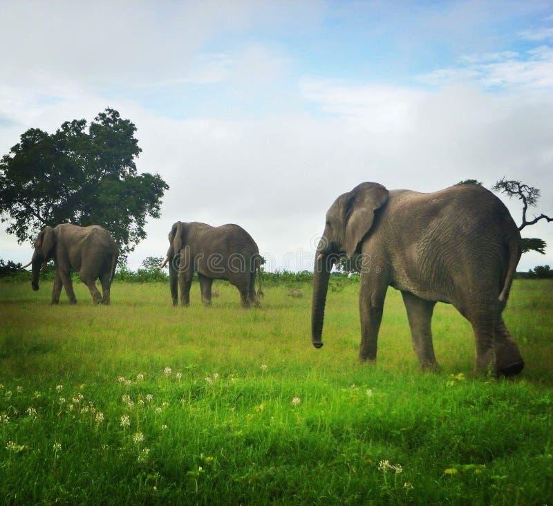 Идти слонов стоковое изображение