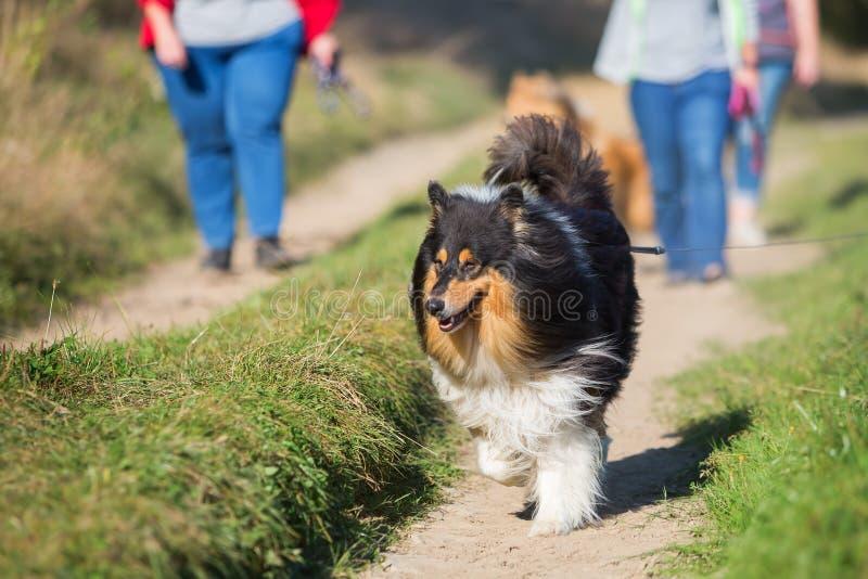 Идти с собаками в стране стоковые изображения