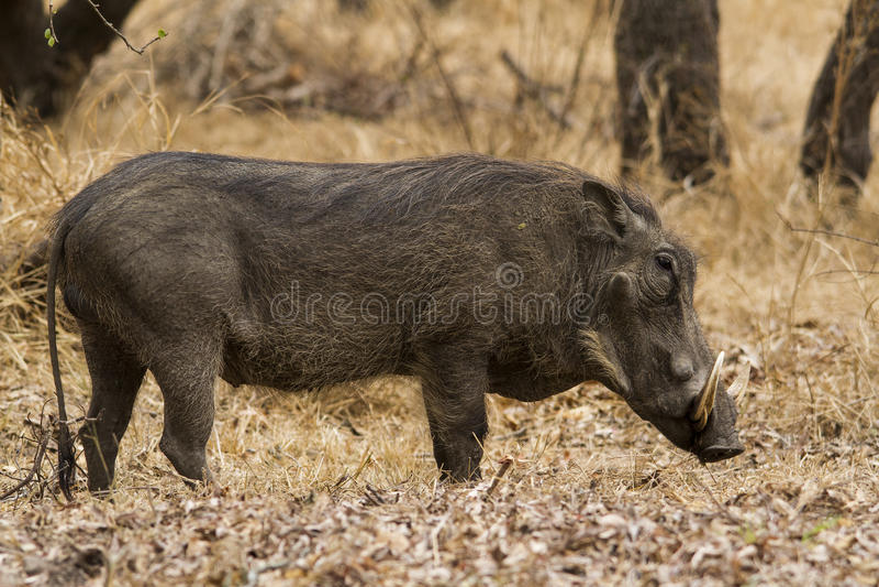 Идти Warthog тихий стоковое фото