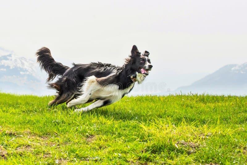 Идущая быстрая и элегантная Коллиа границы собаки стоковое фото rf