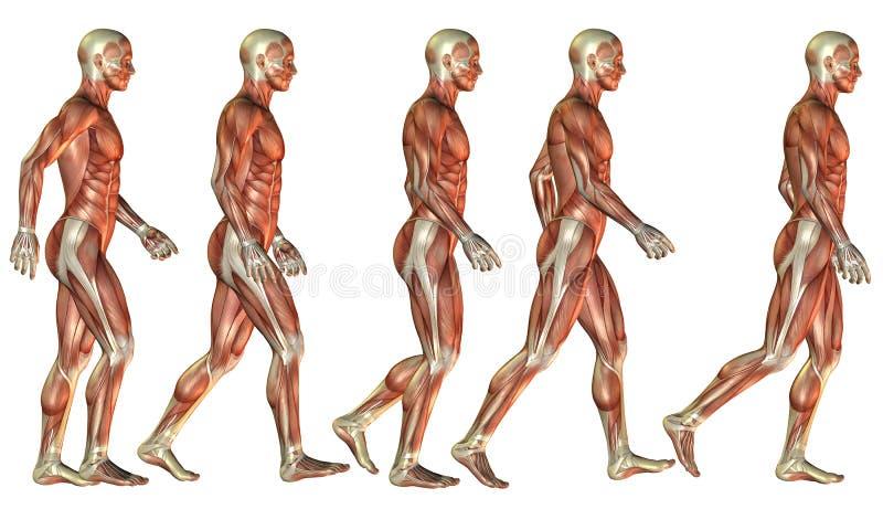 Идущее мужское исследование мышцы иллюстрация вектора