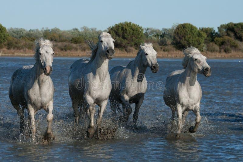Идущие лошади стоковое фото