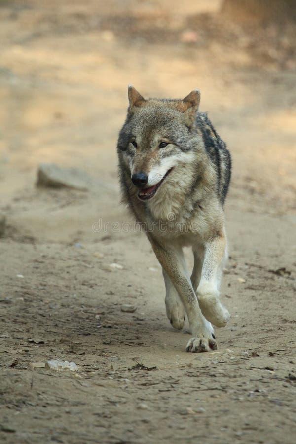 Идущий волк стоковые изображения