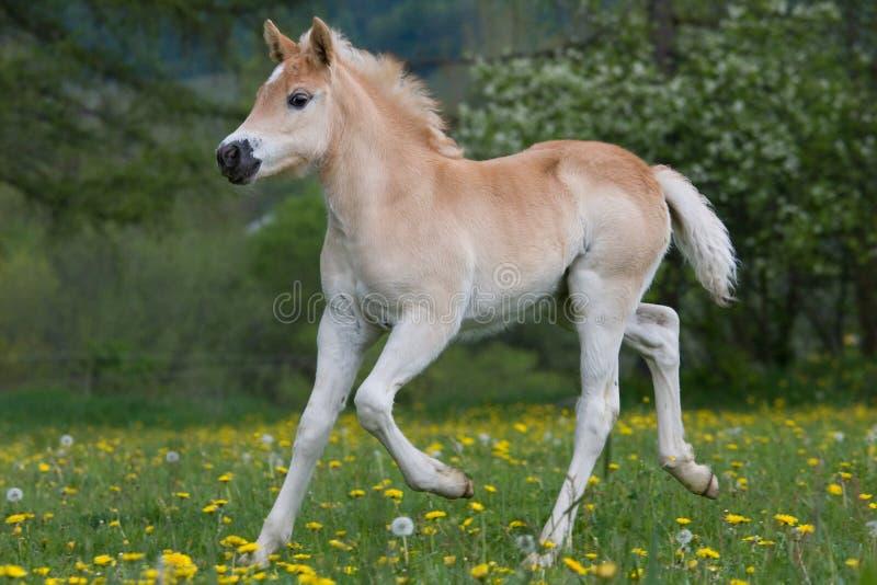 Идущий осленок пони haflinger стоковые фотографии rf