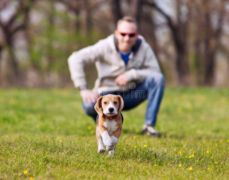 Идущий щенок бигля на прогулке стоковая фотография rf