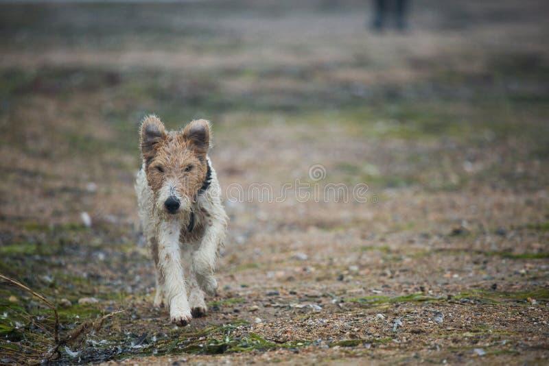 Идущий terrier лисицы стоковые изображения