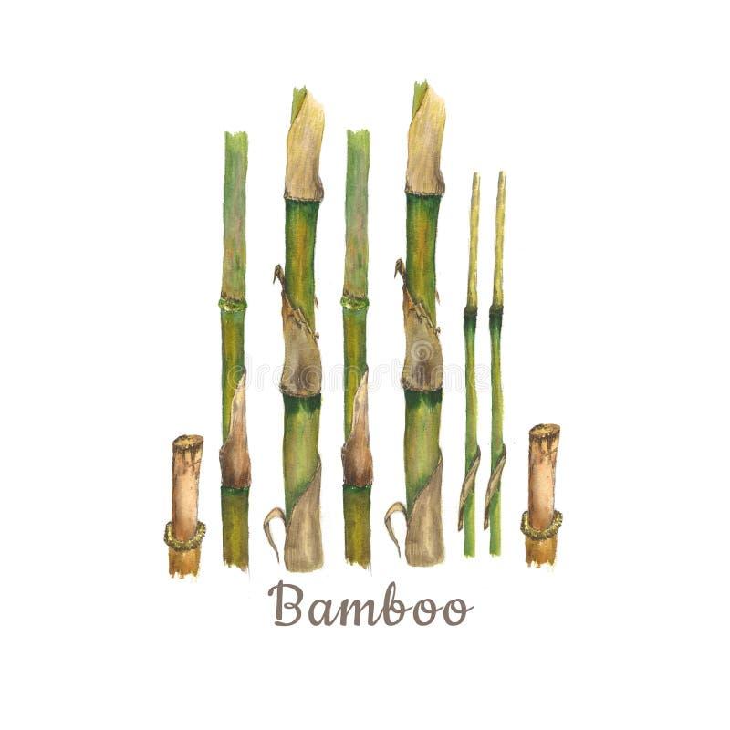 Иллюстрация акварели ботаническая бамбуковых стержней изолированных на белой предпосылке с текстом бесплатная иллюстрация